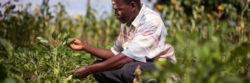 Farmer checks his crops in Tanzania
